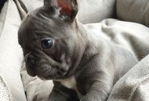 Jacques / our lovely french bulldog