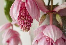 Medinalayı orkide