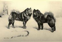 Dog Evolution - Chow-Chow / Dog Evolution - Chow-Chow. - Kutya Portál. Kutya Evolúció - Chow-Chow - Kutya Portál.