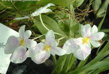 Orquideas  bellas
