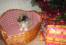 Rony / pekinéz (pekinský palácový psík) narodený: 2009