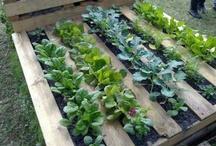 vegie gardening