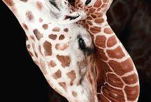 ... Giraffen ...