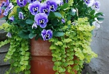 Pansies / Violas / Анютины глазки / Виола