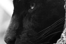Panther♥
