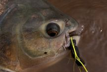 PACU / Fly fishing for pacu.  Pacu on the fly.