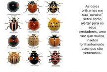Catarina / Ladybug