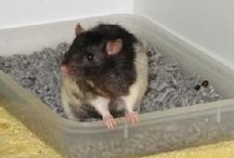 Pet Rats / Rats are actually pretty clean. People are the dirty ones.
