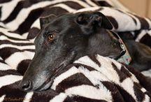 Greyhounds / greyhounds