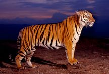 Tigers / Pictures of tigers wherever they may roam!