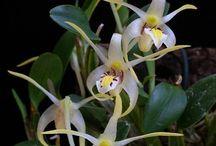 Orchidspecies