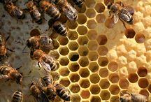 Bijen / Mijn hele leven al onder de indruk van bijen.