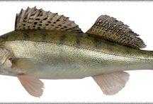 Ryby / o rybach