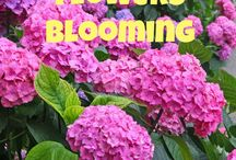 hydrngea blossoms