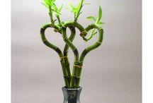 Bambus da Sorte