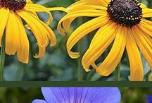 Summer Plants / Many of these perennials provide non-stop color all summer through fall. Mix and match these colorful combos for an endless summer. BONUS: Next year they'll come back, bigger and better than ever!