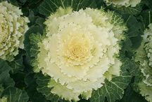 ORNAMENTAL CABBAGE / Varieties and Colours