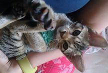 Bessy - my ocicat
