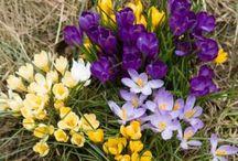 Cibuľoviny / Krása kvetov z cibúľ a hľúz