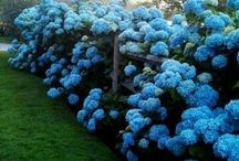 Hydrangeas / by Linda Price
