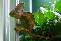 My Veiled Chameleon / RIP Ior the Great <3