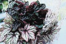 &BEGONIA / Begonia is a genus of perennial flowering plants in the family Begoniaceae.