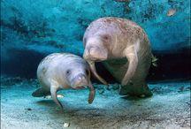 I love manatees