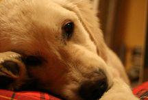 Future dog (hopefully) / I just really want/need a dog.