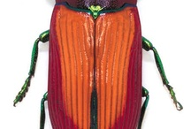 Beetles / Torren - beetles