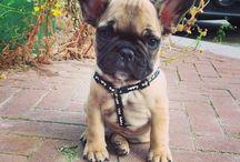 Fransebulldog