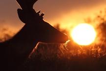 cervidae / fawn deer