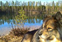 My finnishlapphunddog