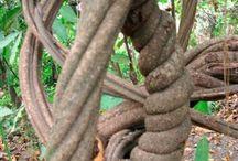 Ayahuasca / Banisteriopsis (caapi steam liana), Psychotria viridis (chacruna leaf) - no Tyramine from acid tyrosine fermentation spec kjott, chocolade, cheese