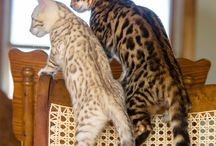 bengal party