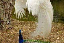 Paon blanc en vol