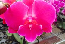 Big Lip Orchids - new orchid line in the Phalaenopsis family genera / New type of Orchids : Big Lips