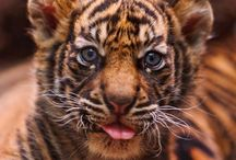 Sumatran Tigers are endangered / by Rainforest Action Network