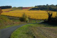 Les vignes / Les vignes dans la région d'Angers