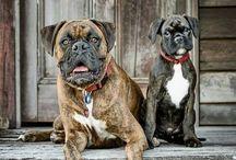 El Bóxer / la raza de perros más buenos que conozco
