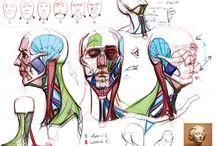 anatomy cgam