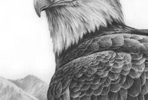 Amerikaanse zeearend / Zeevogel