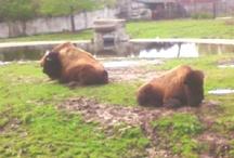Buffalo's <3