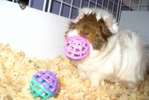 Guinea Pig Toys / Toys for Guinea Pigs, Cage accessories and more