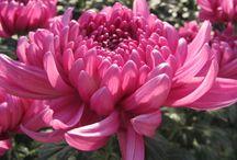 Crisantemi / Ecco alcune delle serre dei nostri Soci con i bellissimi Crisantemi!