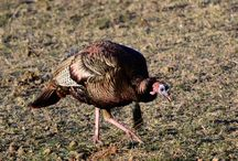 Turkey Hunting / Tips and Tactics for Turkey Hunting