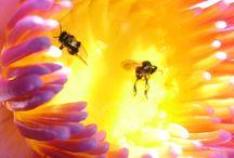 Stuifmeel / Stuifmeel bestaat uit hele kleine korreltjes, ook wel pollen genoemd. Door stuifmeel vindt bestuiving plaats.  Het stuifmeel wat aangeboden wordt voor consumptie, is afkomstig van de honingbij. Helpt tegen o.a. astmatische aandoeningen, keelontstekingen, ouderdomskwalen en verkoudheid. Het is een vorm dat we gebruiken als apitherapie, een natuurlijke geneeswijze. www.apiterapie.nl