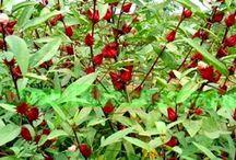 Trà Hồng Đài - Hibiscus tea / Trà Hồng Đài – Giải khát, thanh nhiệt, hạ huyết áp
