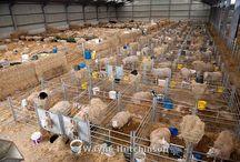 koyun sektörü