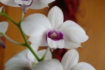 Dendrobium Orchids / A large genus of tropical orchids that consists of about 1200 species.