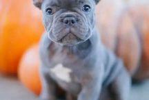 French bulldog ❤️ soo cute